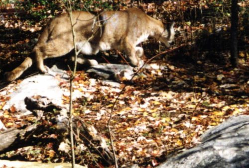 cougar in south carolina